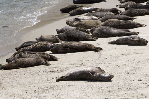 2283_Seals_Childrens_Beach_LaJolla
