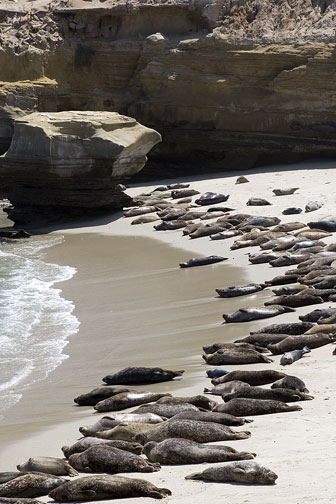2284_Seals_Childrens_Beach_LaJolla