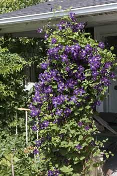 1778_Wolfe_Island_Clematis